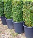 Buxus,Dwarf Box, Yew & Evergreen Hedging